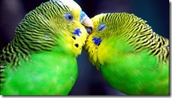 parrots-love-wallpapers_for_desktop